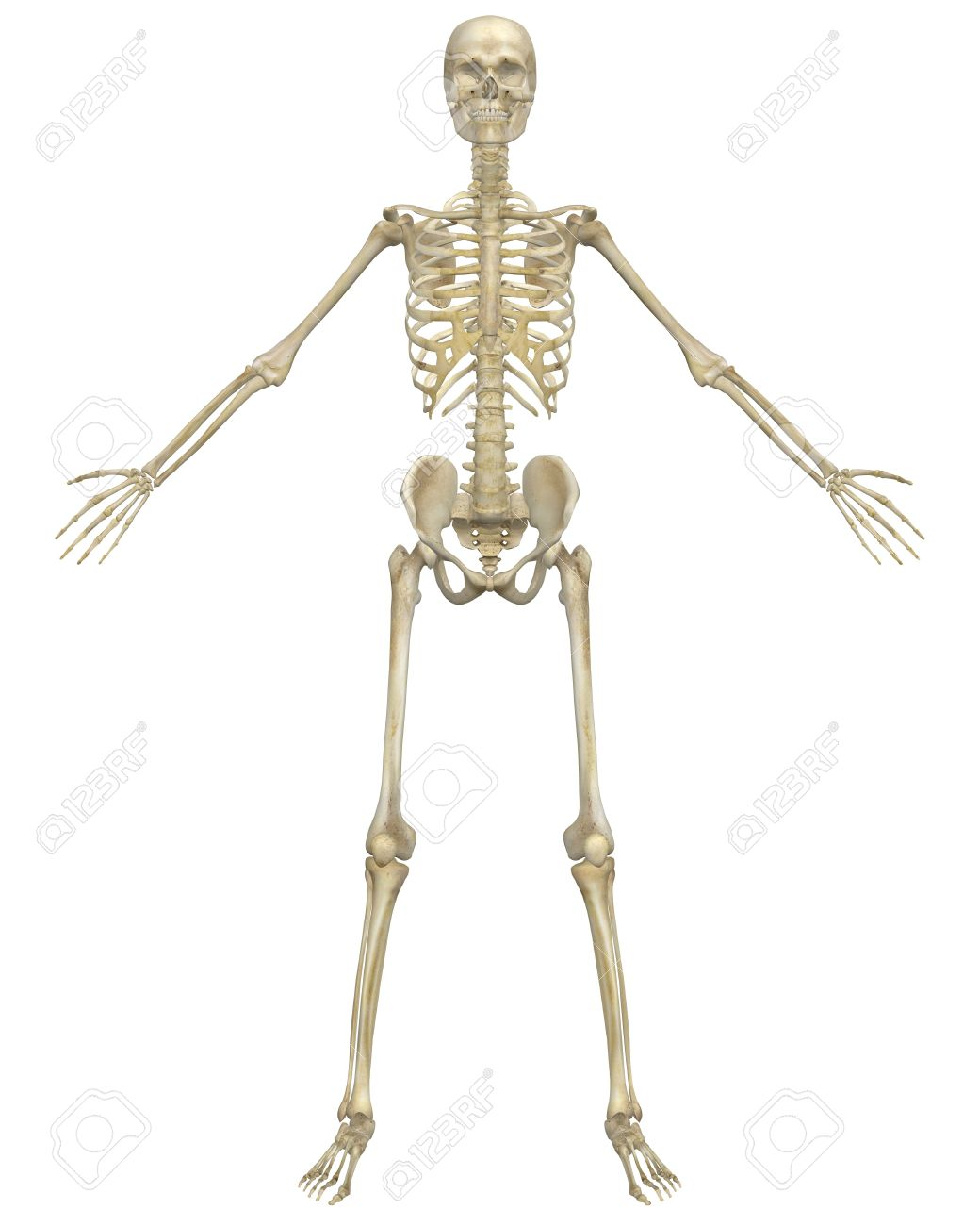 A Front View Illustration Of The Human Skeletal Anatomy. Very ...