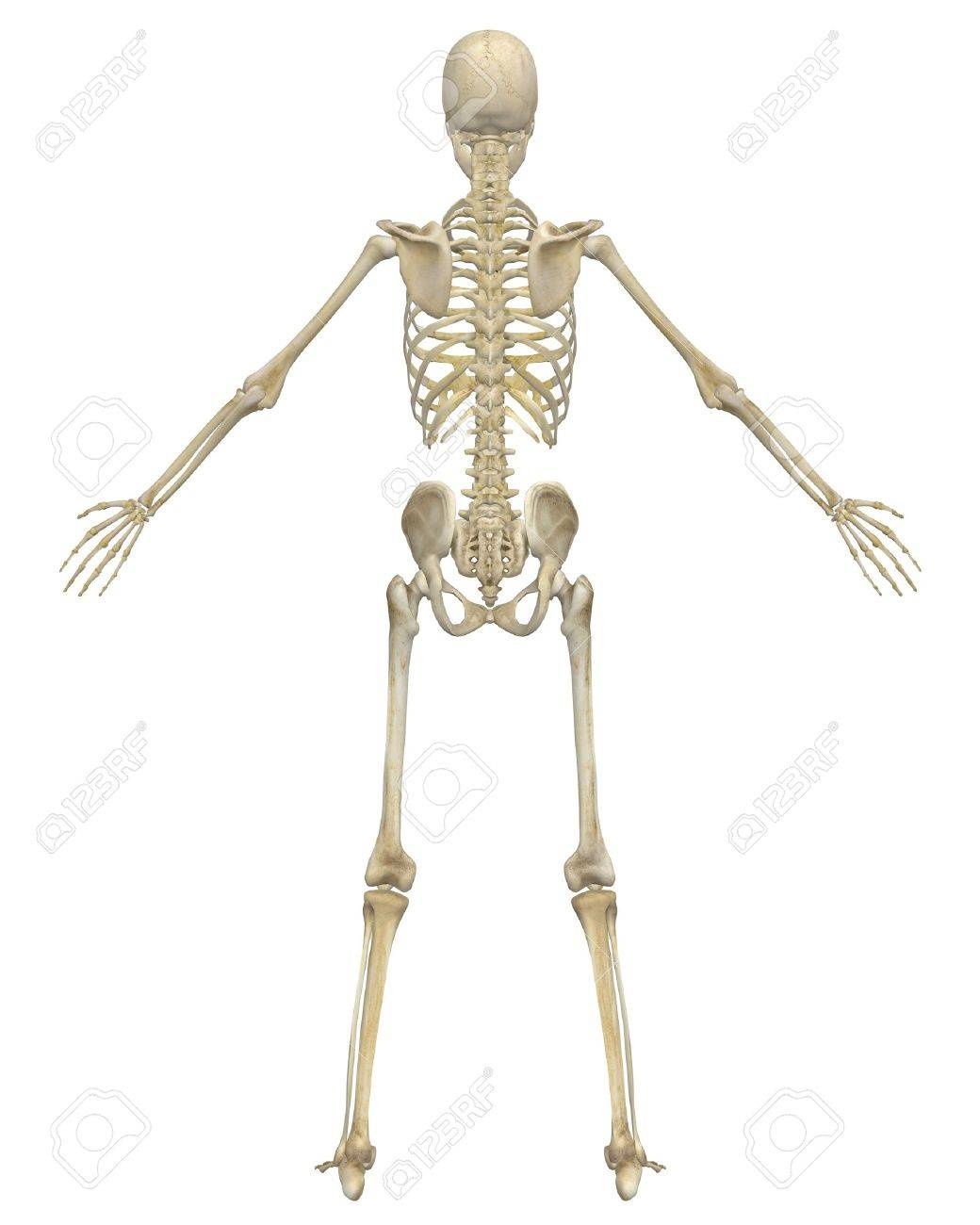 A Rear View Illustration Of The Human Skeletal Anatomy. Very.. Stock ...