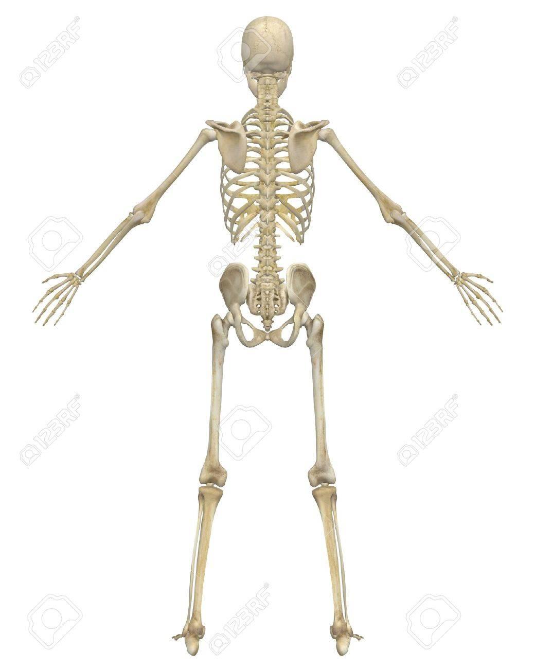 Un Ejemplo De Visión Trasera De La Anatomía Del Esqueleto Humano ...