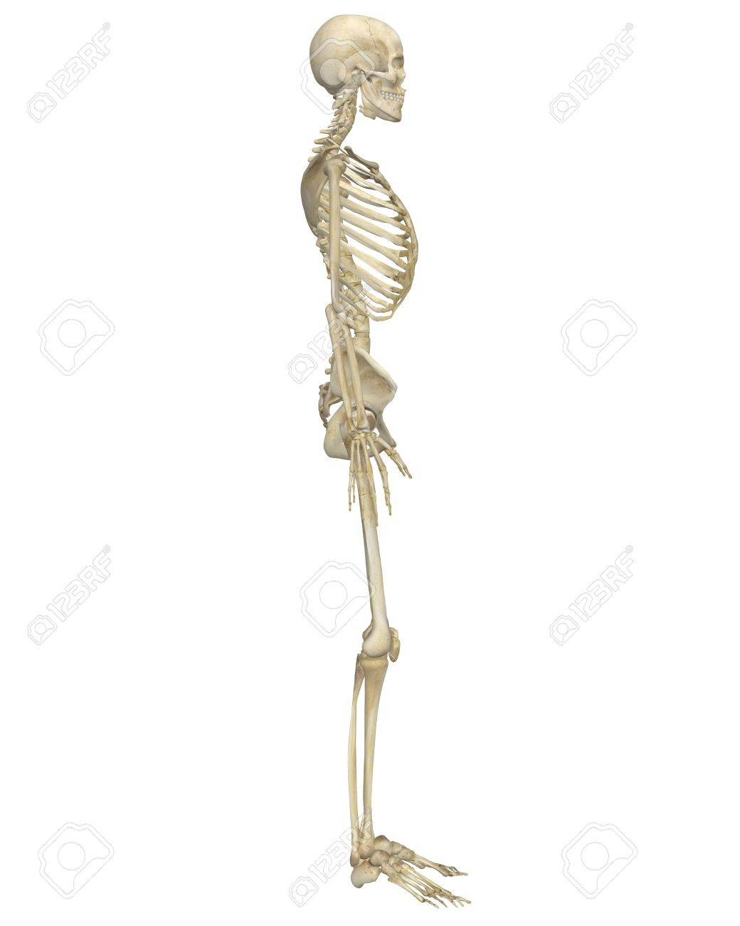 A side view illustration of the human skeletal anatomy. Very educational and detailed. - 11095369