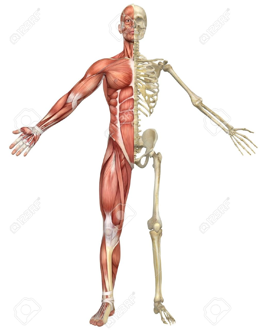 A Front Split View Illustration Of The Male Muscular Skeleton