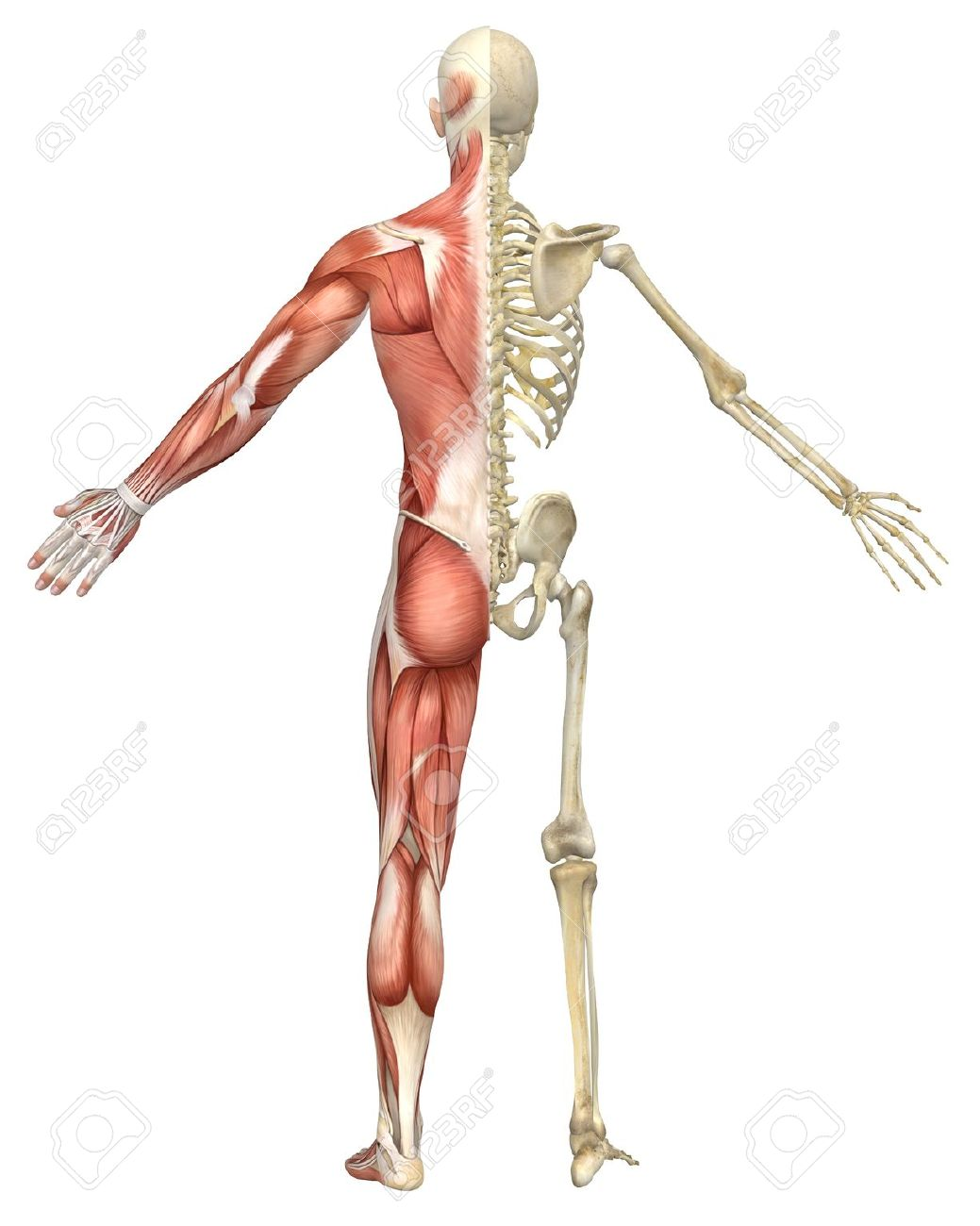 A Rear Split View Illustration Of The Male Muscular Skeleton.. Stock ...