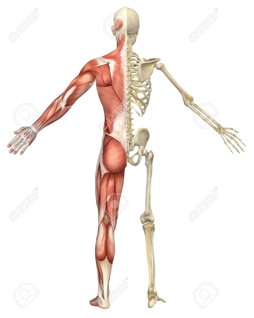 Lujoso Anatomía Delt Trasera Colección - Anatomía de Las Imágenesdel ...