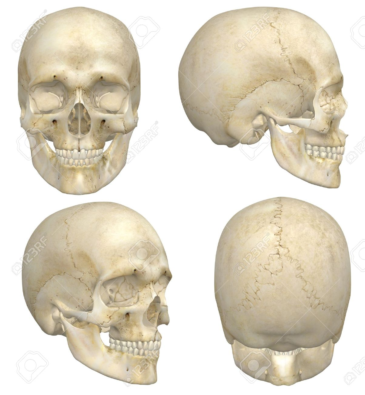 A illustration containing four views, front, side, rear, and angled front, of a human skull Isolated on a solid white background Very educational and detailed - 15323309
