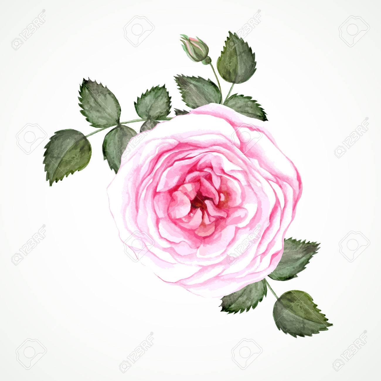 Archivio Fotografico , Tè Rosa rosa fiore con foglie e gemme. Immagine  Acquerello vettore.