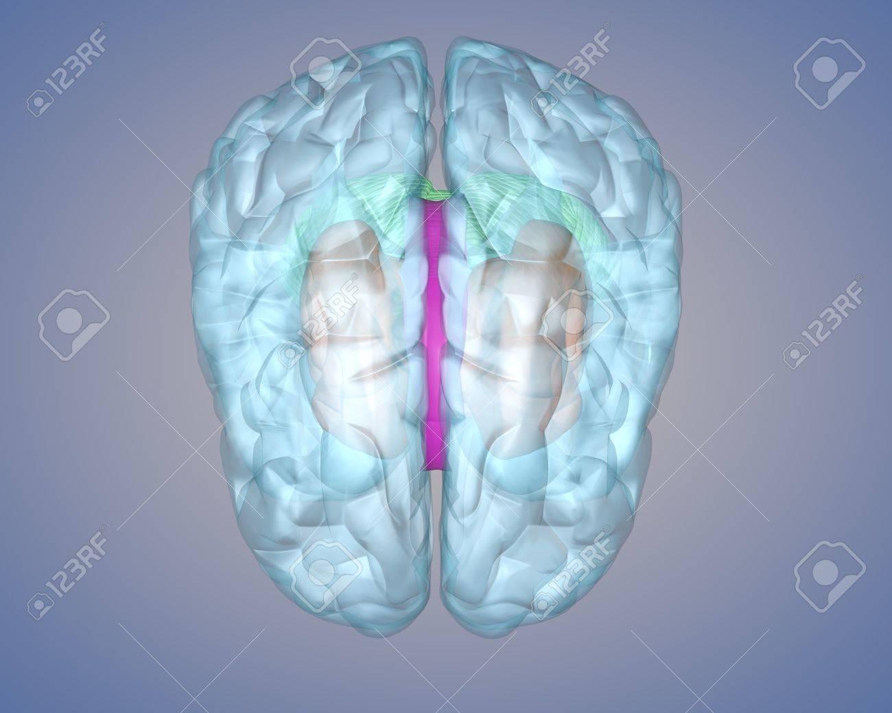 Representación Gráfica Del Cerebro Humano Para Visualizar La Estructura Interna