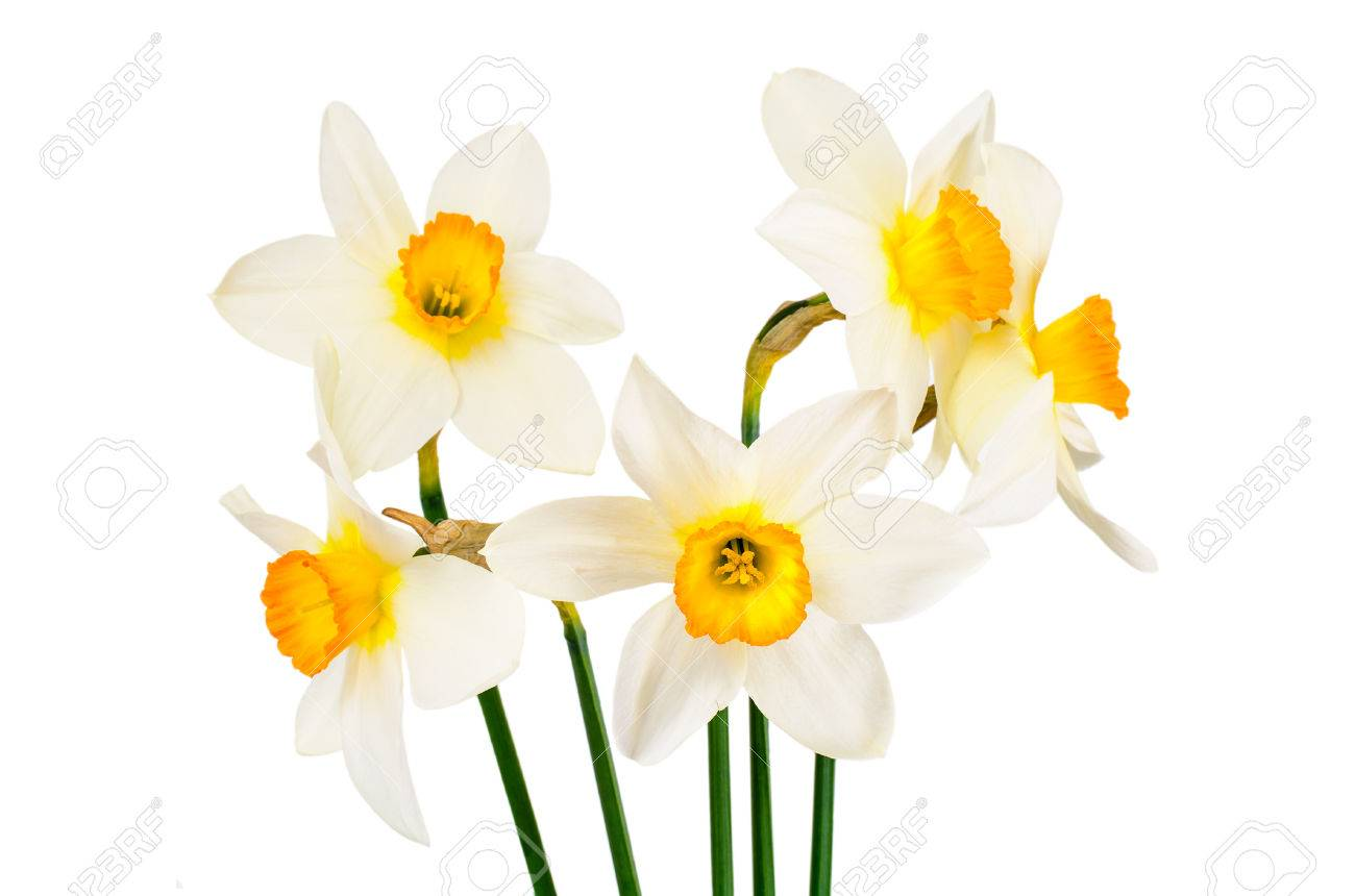 Beautiful spring flowers narcissus on white background studio beautiful spring flowers narcissus on white background studio photo stock photo 66508570 mightylinksfo