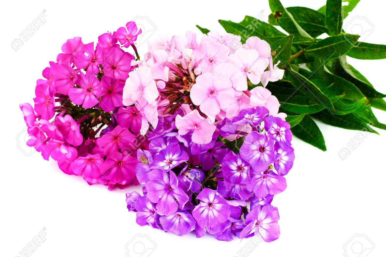 Bright Beautiful Flowers Phlox On White Stock Photo Picture And