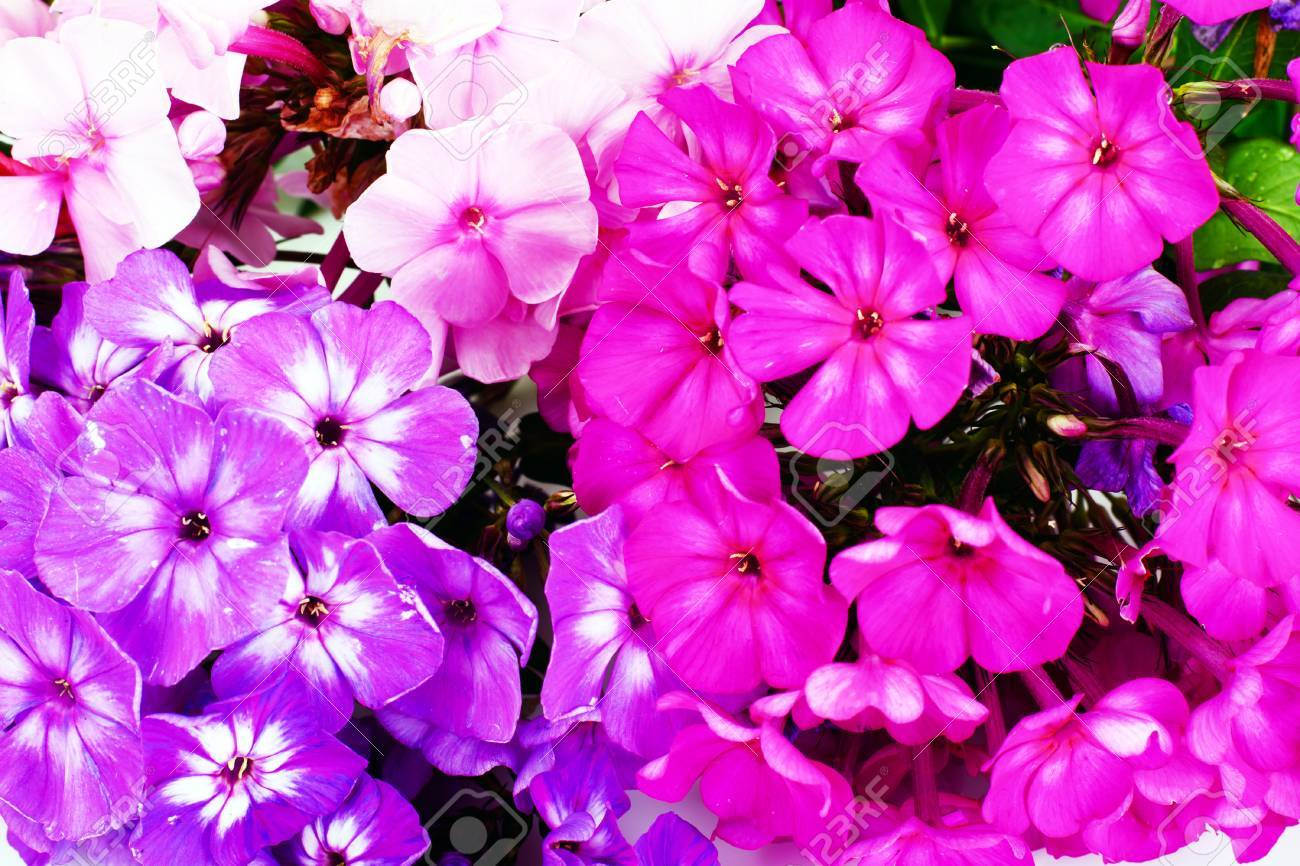 Bright Beautiful Flowers Phlox On White Background Stock Photo