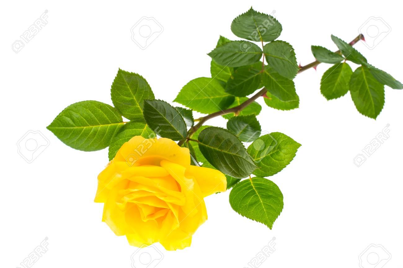 Yellow Rose Studio