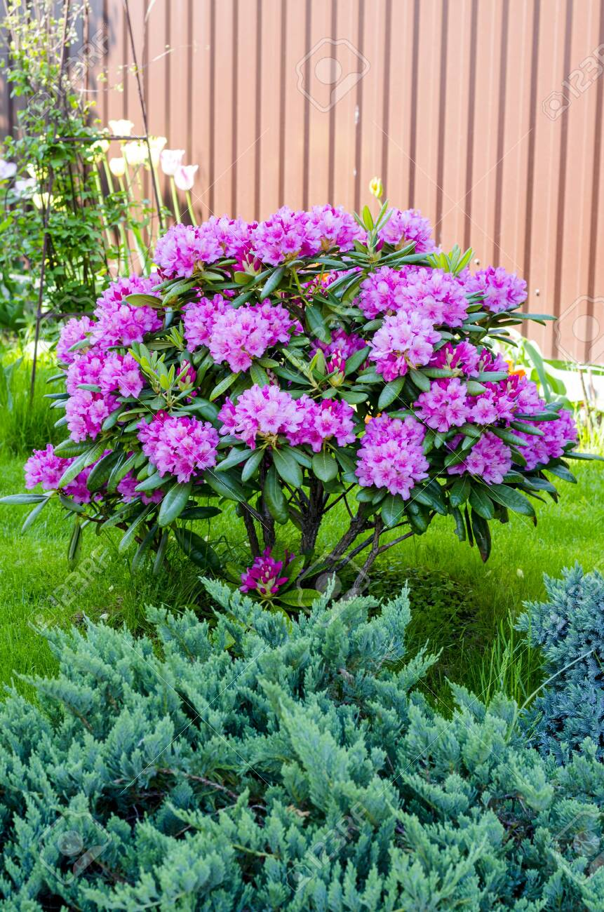 Rose Blooming Rhododendron Bush In Garden Photo Stock Photo