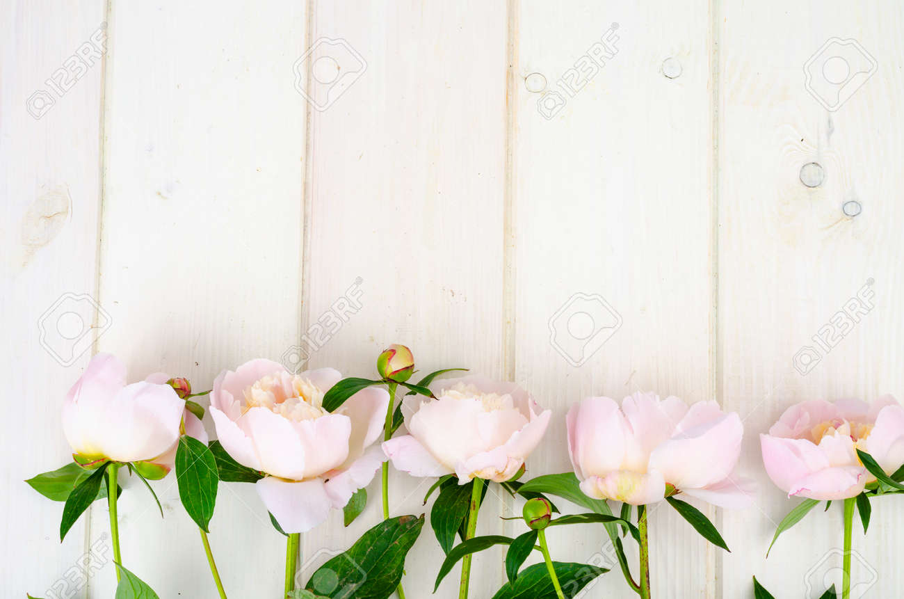 Delicious delicate pink peonies on white wooden surface. Studio Photo - 157269560