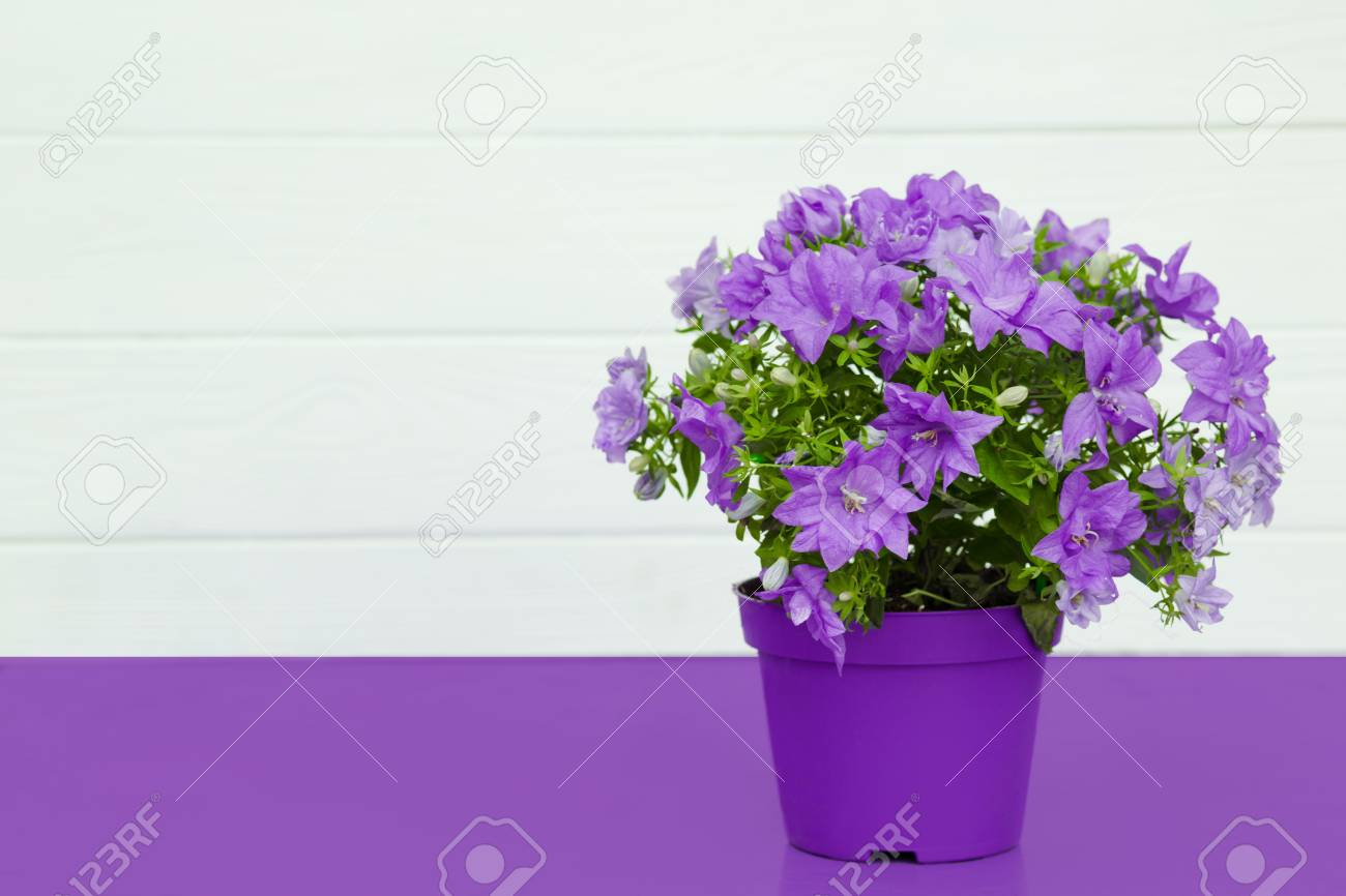 Violet Flowers In A Pot House Plants Standing On A Violet Table
