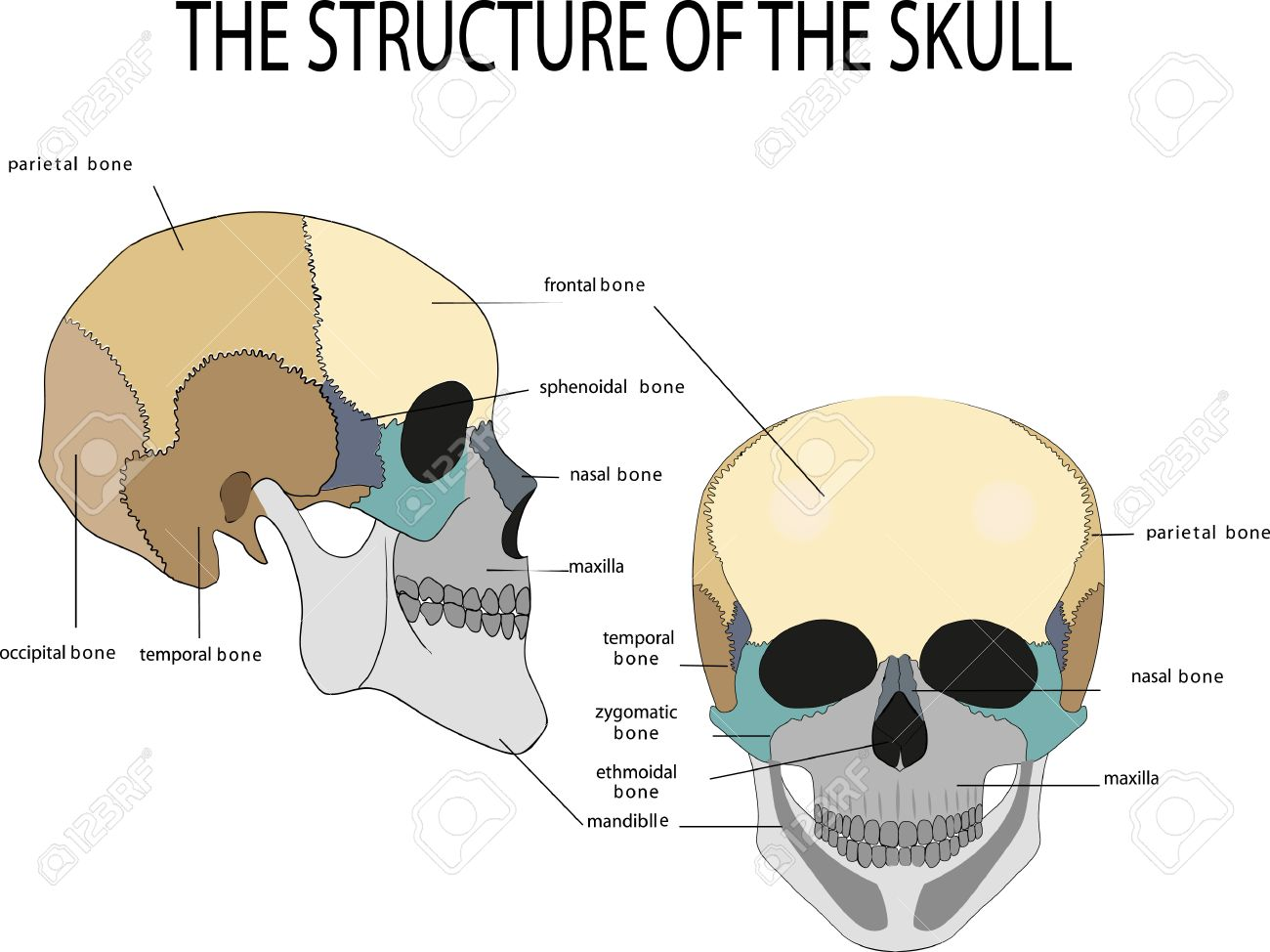 Human Skull Anatomy, Medical Illustration, Front And Side View ...