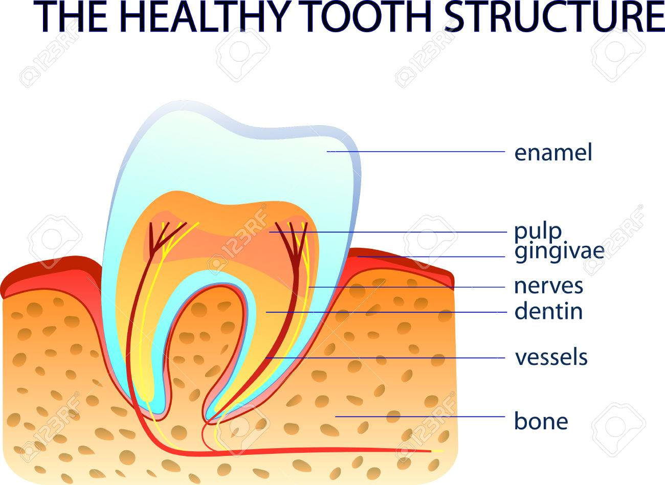 ILLUSTRFTION OF THE HEALTHY TOOTH STRUCTURE. Anatomy Royalty Free ...