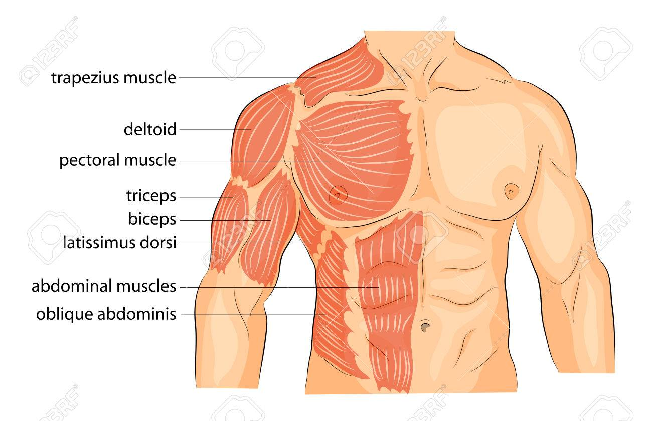 Illustration Of A Male Body Arms Shoulders Chest And Abs