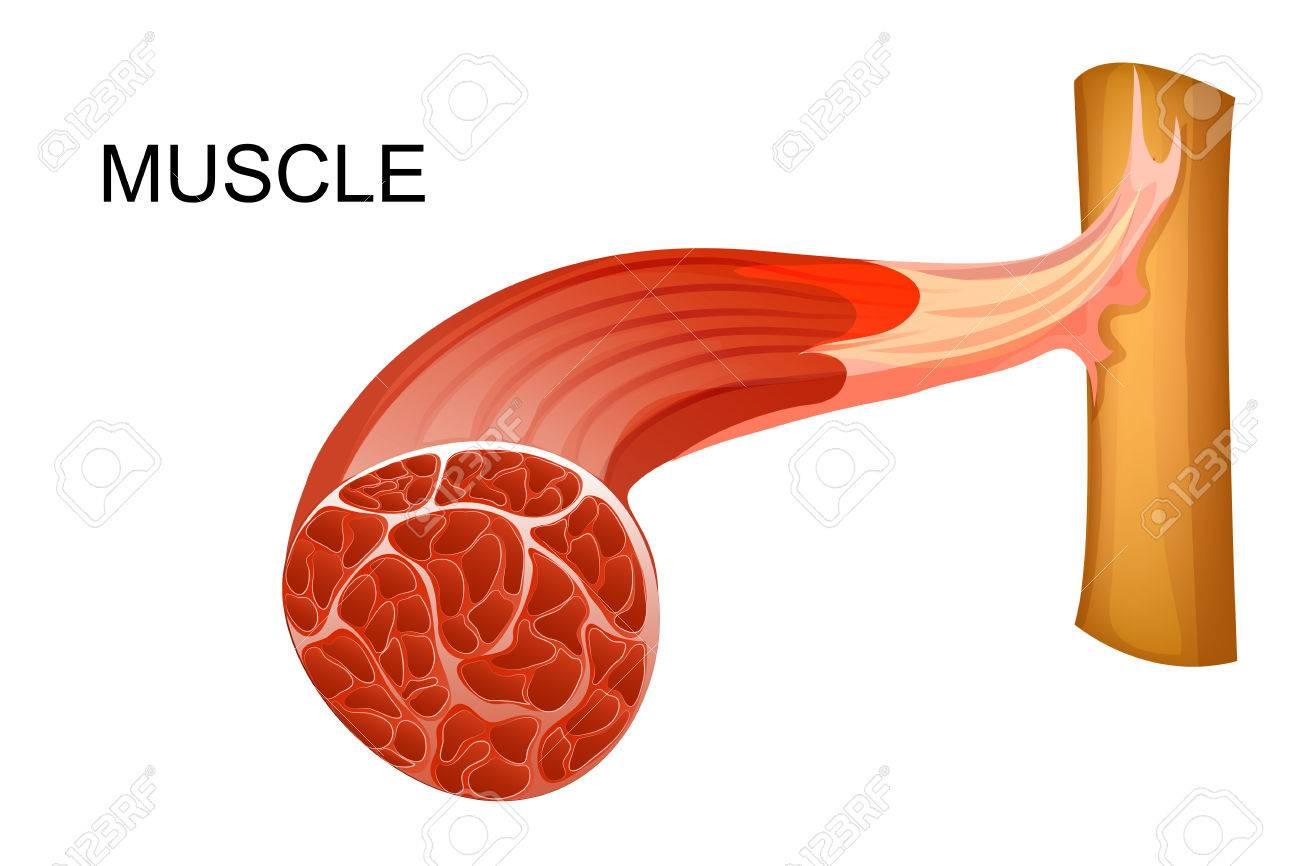 Vektor-Illustration Der Anatomie Der Muskelfasern Für Medizinische ...
