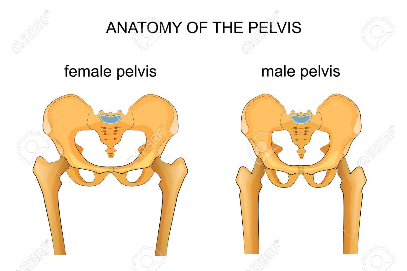 vector illustration of a comparison of the skeleton of the male and female pelvis - 74317811