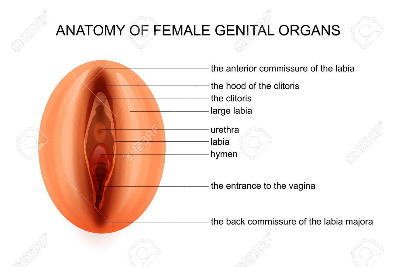 Vector Illustration Of Anatomy Of Female Genital Organs Royalty Free
