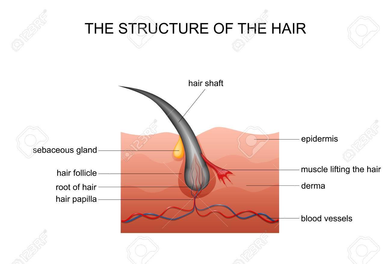 Vector Illustration Of Anatomy Of Hair. Dermatology Royalty Free ...