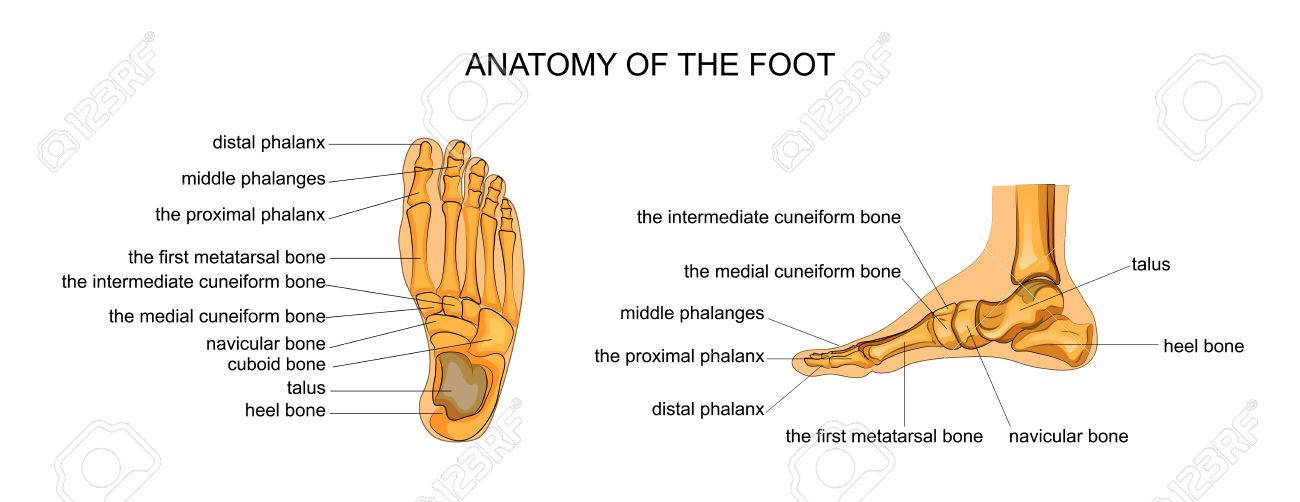 Vector Illustration Of Anatomy Of The Skeleton Of The Foot Royalty ...