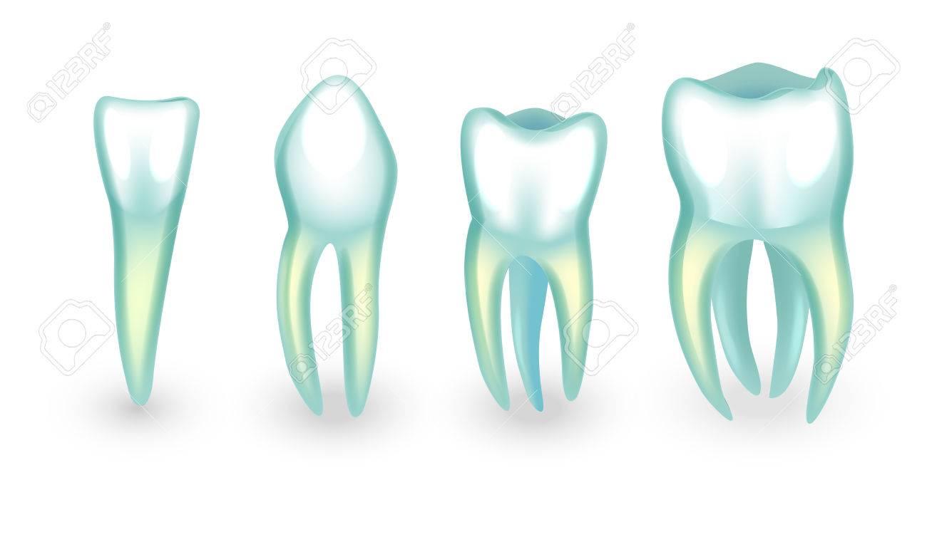 Vector Illustration Of Human Teeth. Incisor, Canine And Molars ...