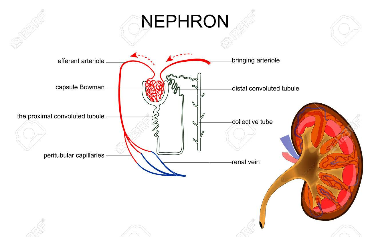 Vector Illustration Of The Structure Of Kidney And Nephron Royalty ...