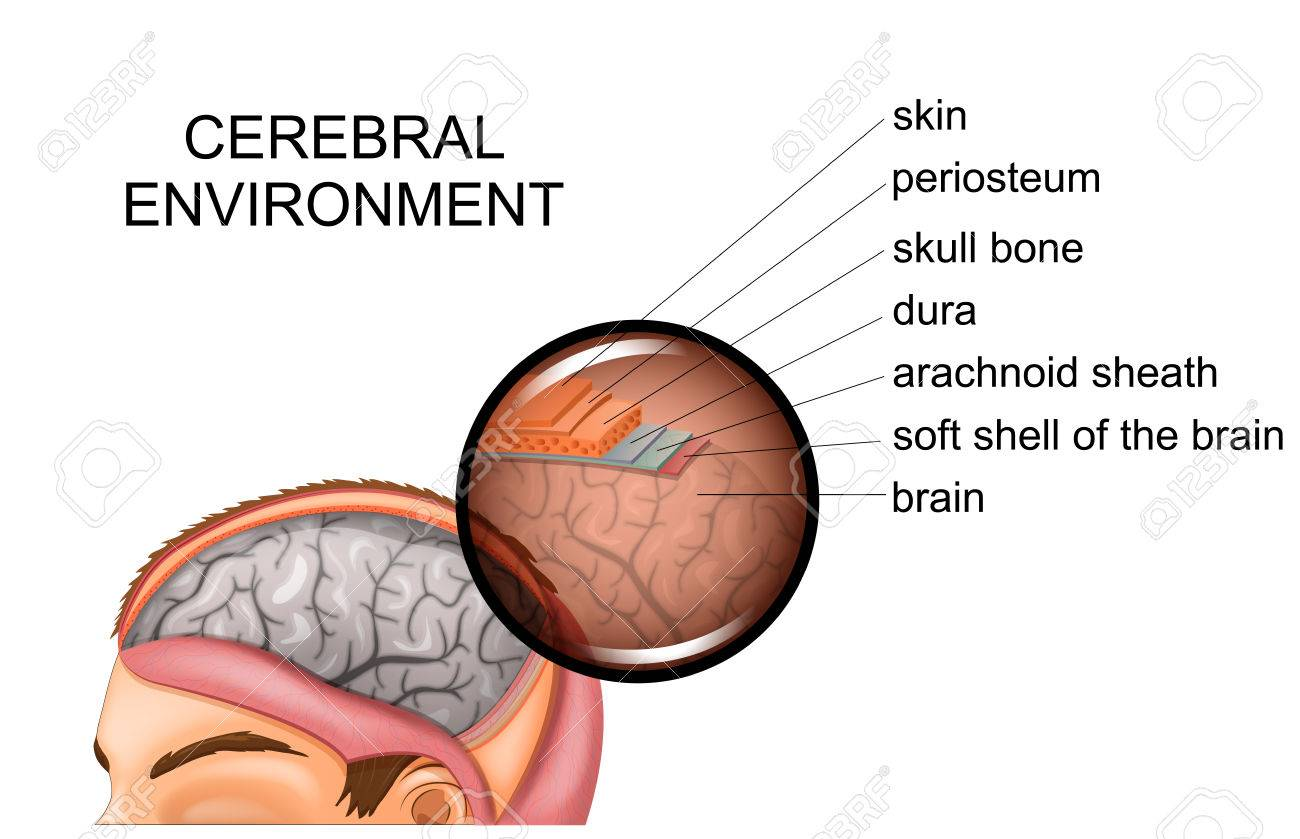 Vector Illustration Of Anatomy Of The Meninges Royalty Free Cliparts ...