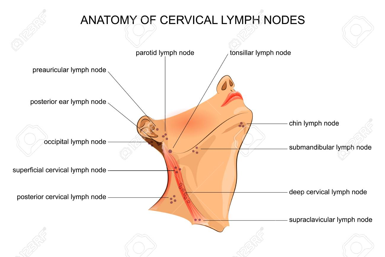 Vector Illustration Of Anatomy Of Cervical Lymph Nodes Royalty Free