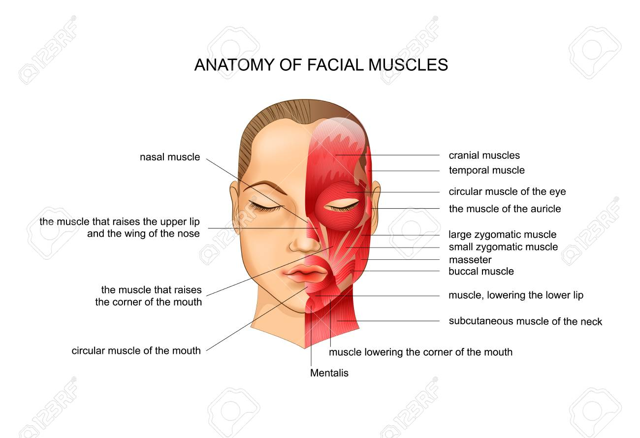 vector illustration of anatomy of the facial muscles. scheme - 125869437