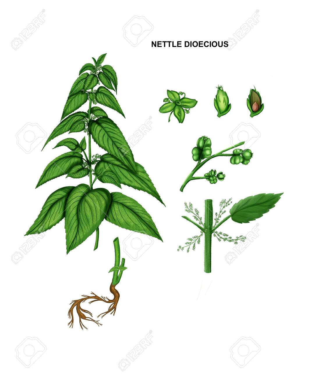 Illustration of nettle dioecious. Drug plant - 140353476
