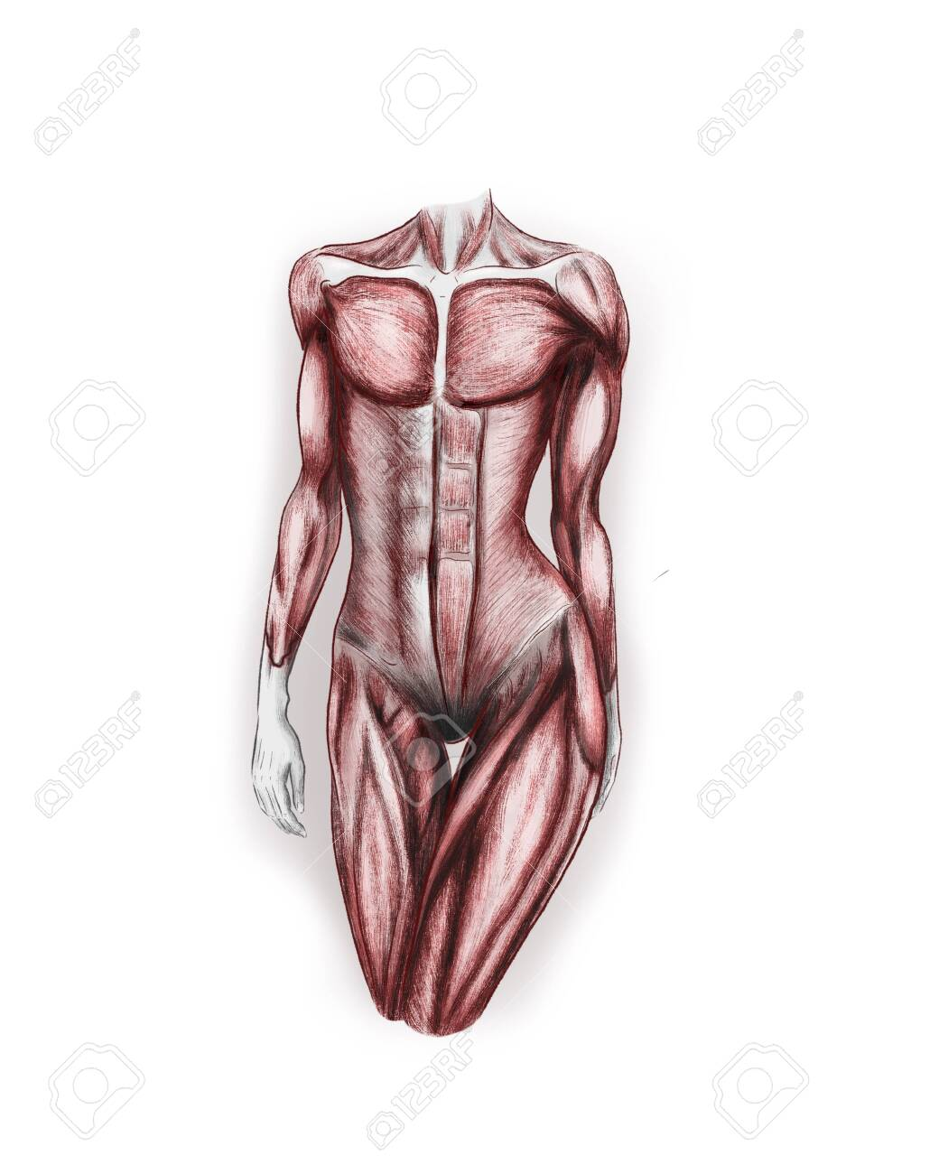 Illustration of female body muscles - 145377708