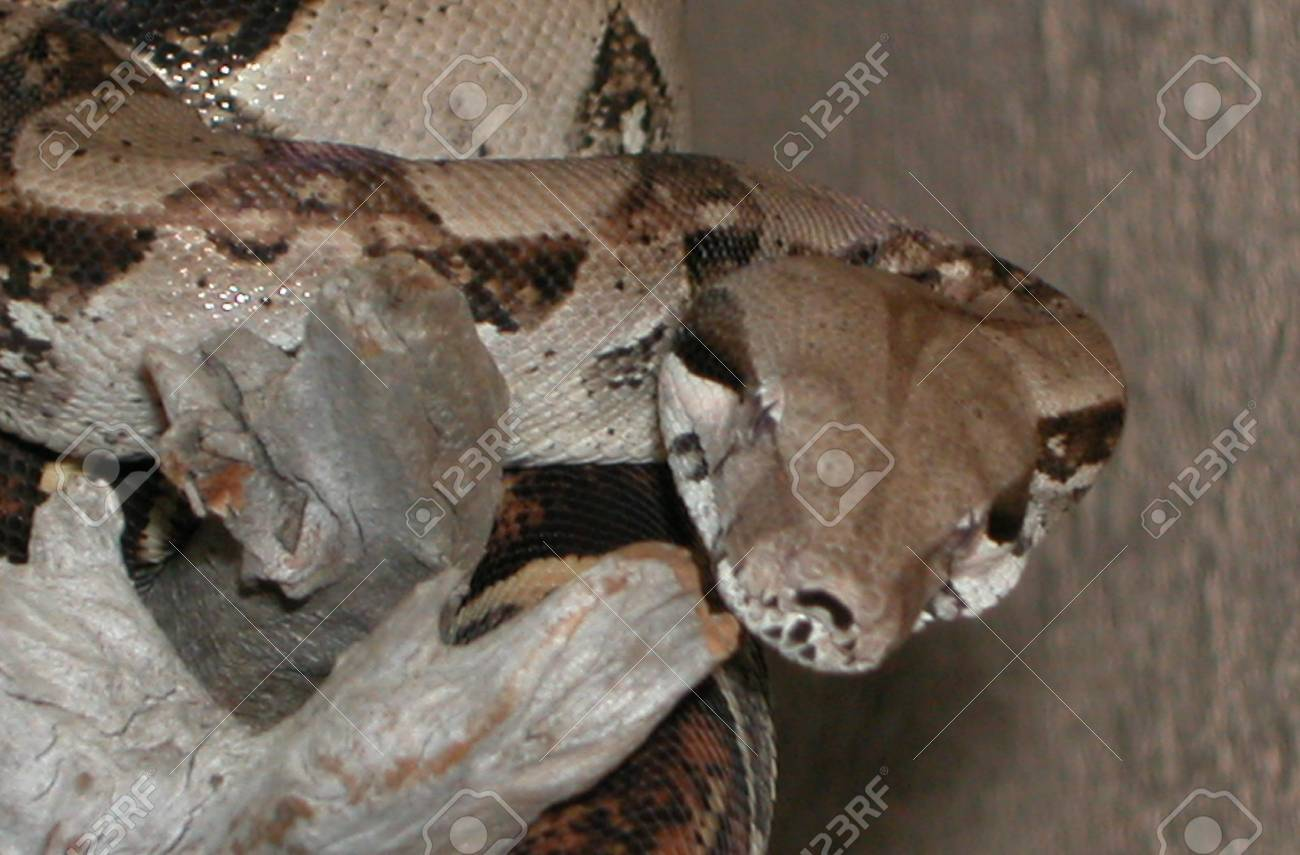 Columbian Redtail Boa