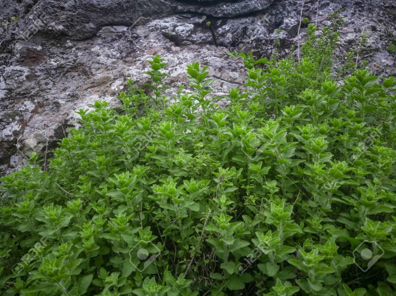Wild oregano grows in the mountains. Raw green Oregano in field. Greek natural herb oregano. Green and fresh oregano flowers. Aromatic culinary herbs. - 142962148