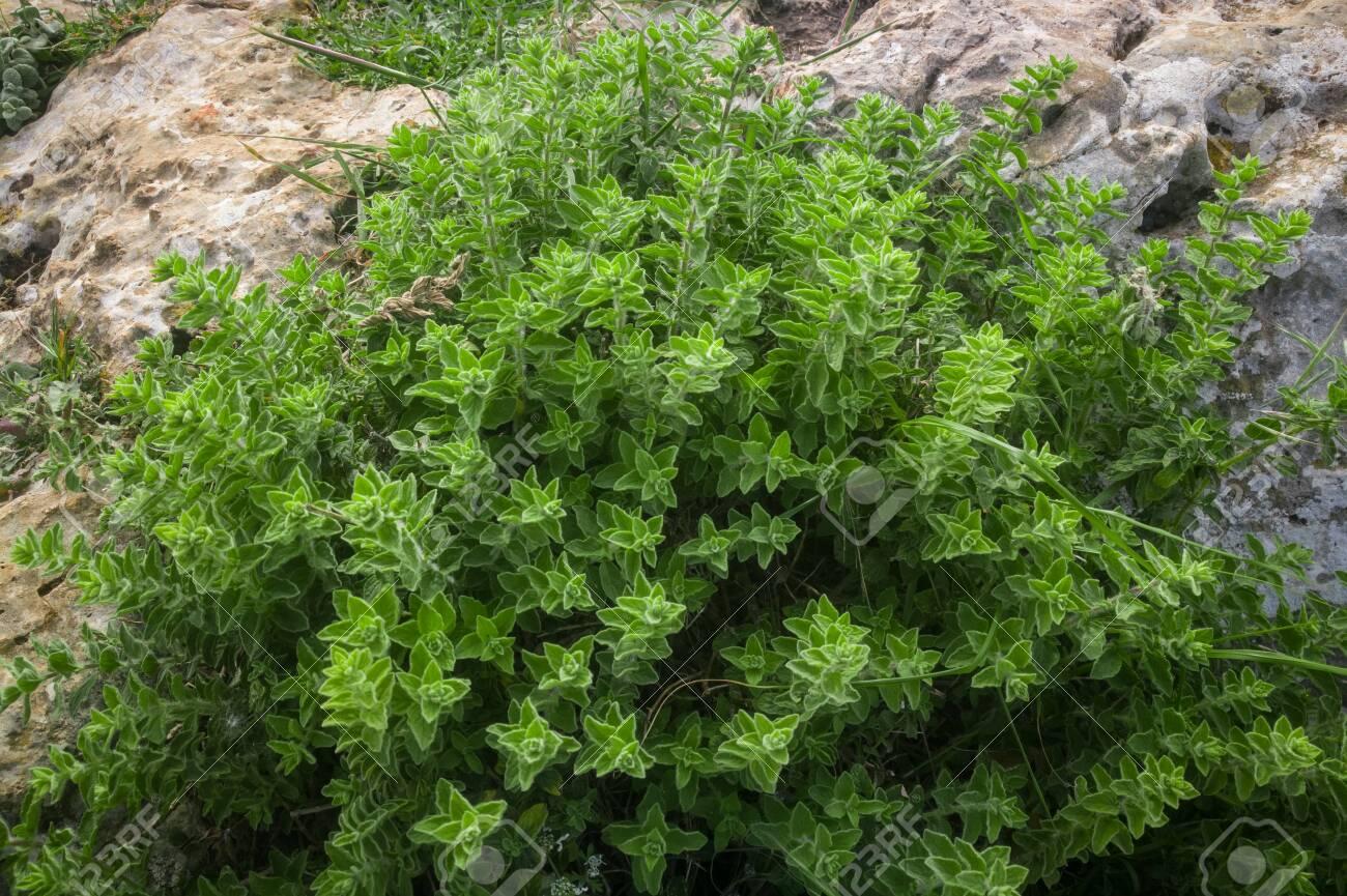 Wild oregano grows in the mountains. Raw green Oregano in field. Greek natural herb oregano. Green and fresh oregano flowers. Aromatic culinary herbs. - 142962507