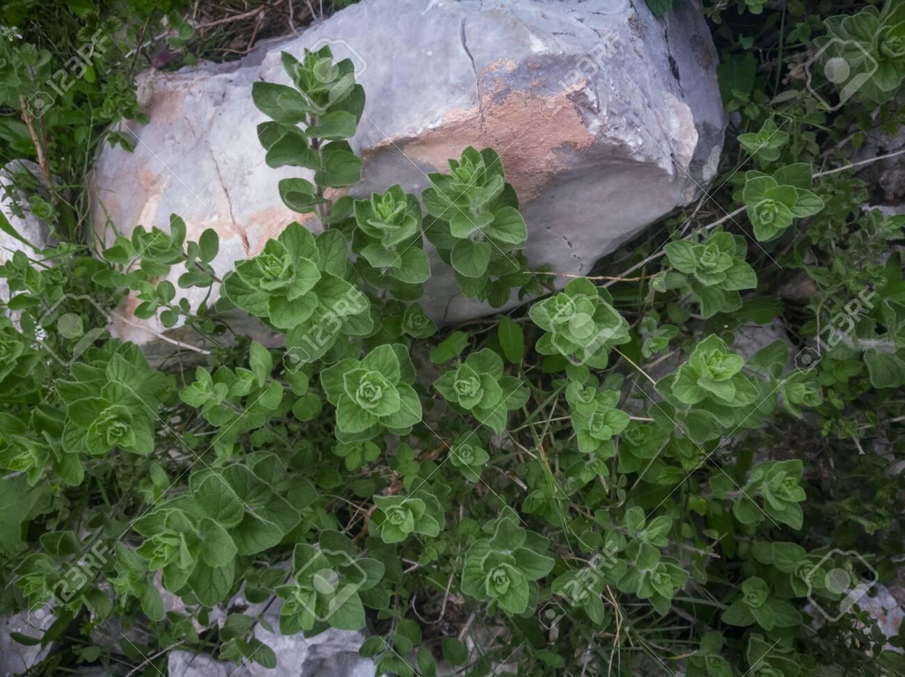 Wild oregano grows in the mountains. Raw green Oregano in field. Greek natural herb oregano. Green and fresh oregano flowers. Aromatic culinary herbs. - 142962728