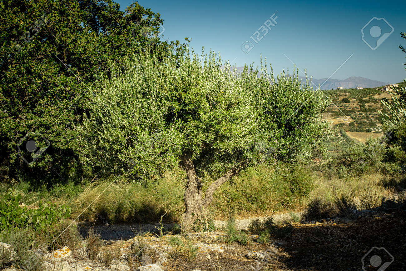 Olive plantation with old olive tree in the Crete, Greece. Colorful olive tree on blue sky background. Old olive tree in green landscape. - 160358677