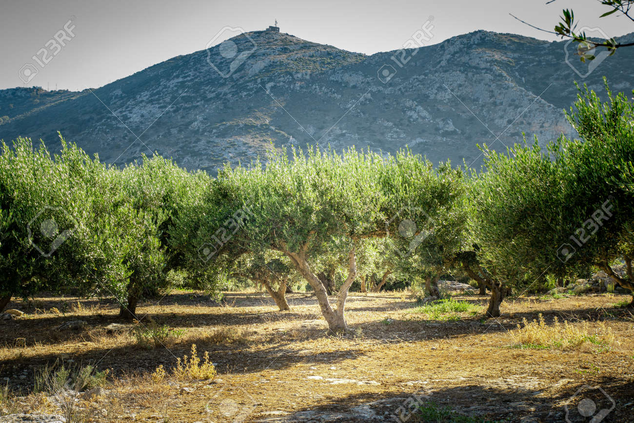 Olive plantation with old olive tree in the Crete, Greece. Colorful olive tree on blue sky background. Old olive tree in green landscape. - 160358802
