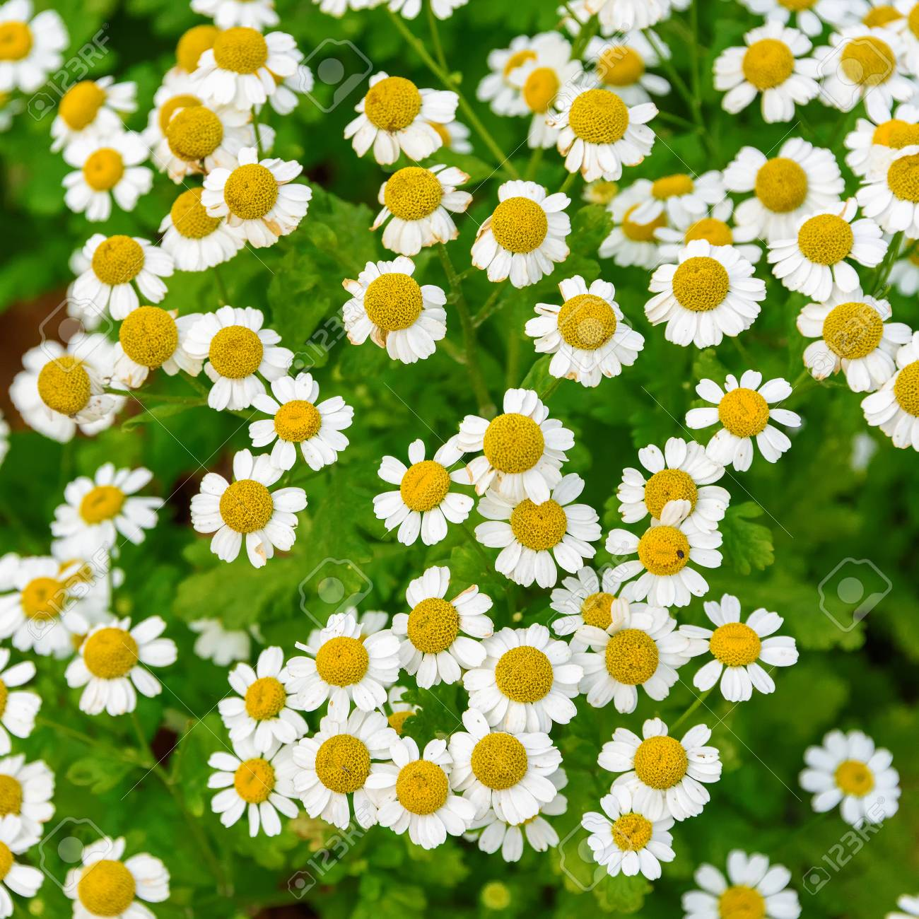 A Flower Bed With Daisies Background Of White Flowers Close Up
