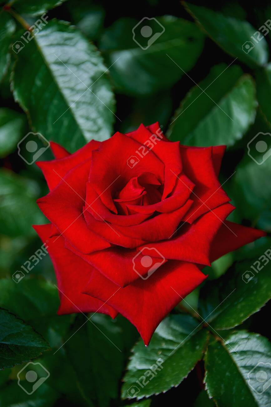 Beautiful Red Rose Close Up On A Dark Green Background Rose Grows On A Bush In The Summer Stock Photo Picture And Royalty Free Image Image 128233919
