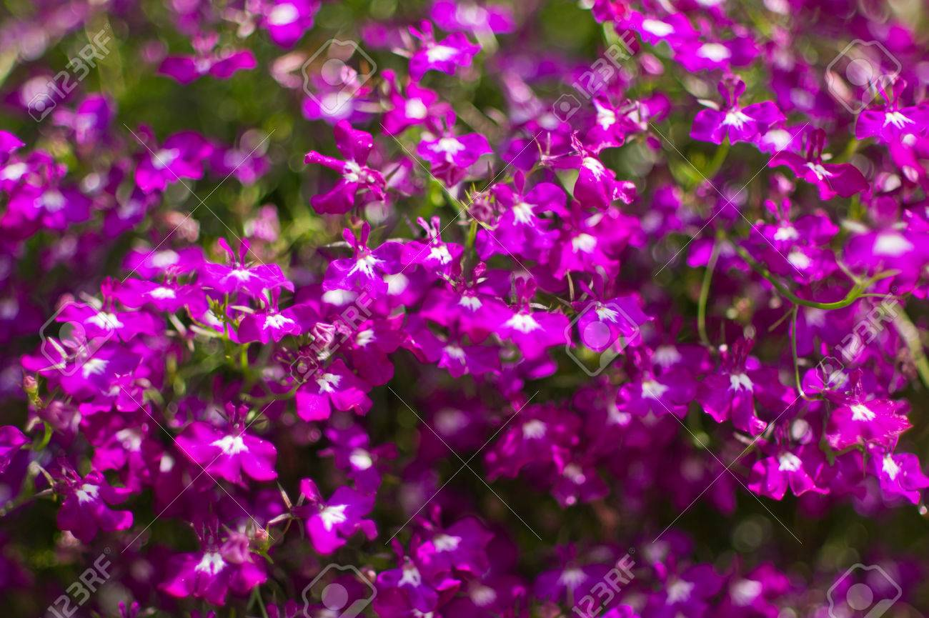 Purple Lobelia Lobelia Inflata Also Called Indian Tobacco Stock