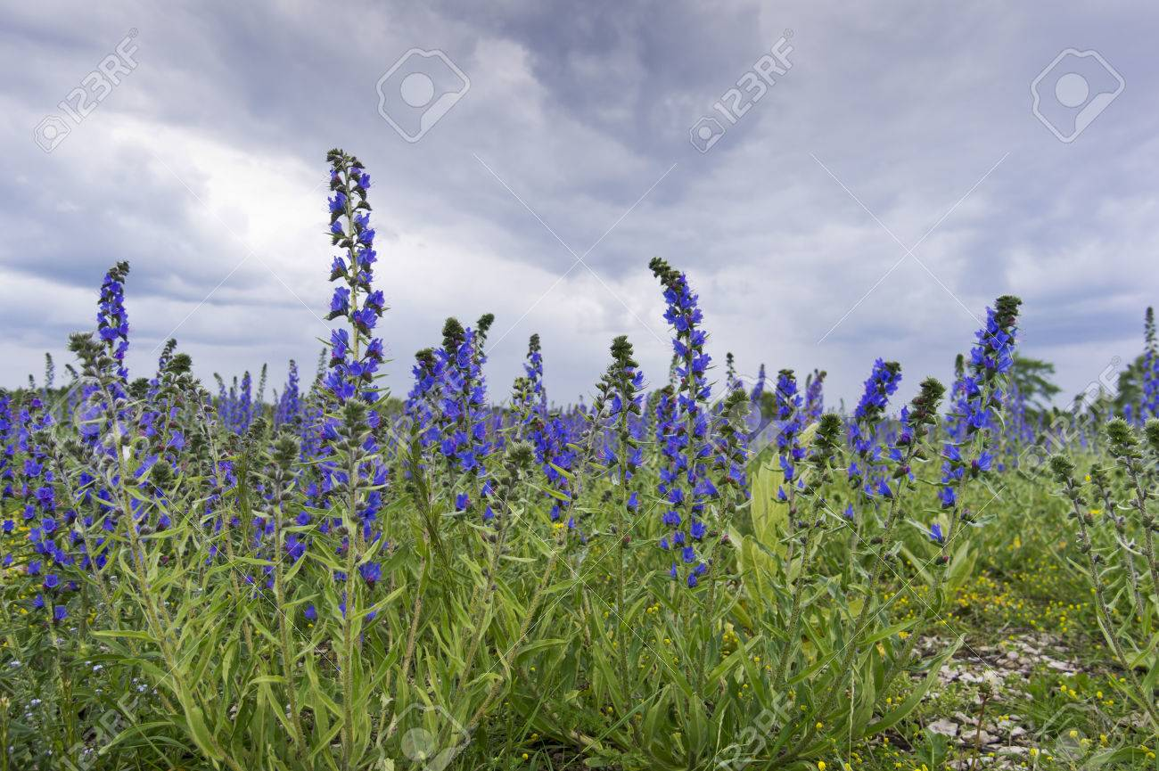 Vipers Bugloss Or Blueweed Echium Vulgare Field. Blue Blooming ...