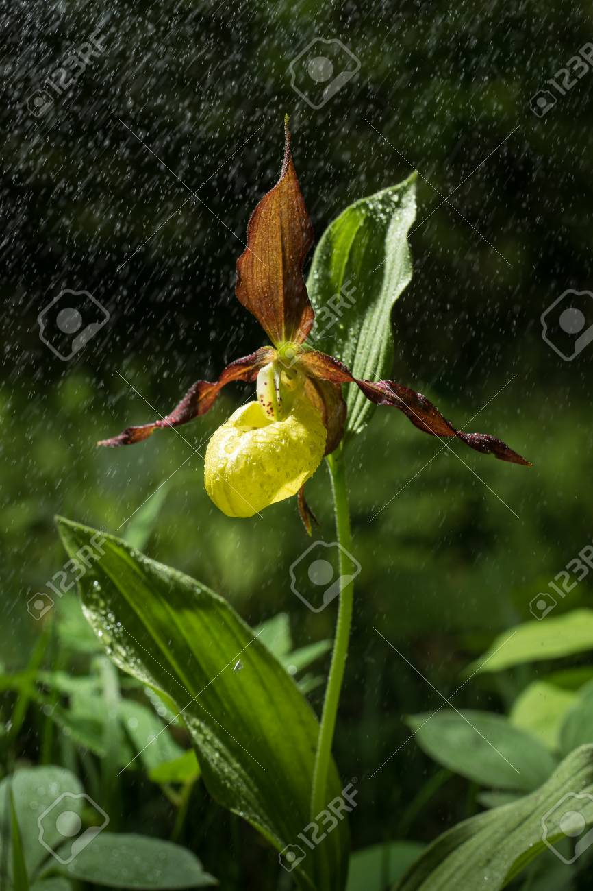 Ladys Slipper Orchid Flower Bloom In The Rain Yellow With Red