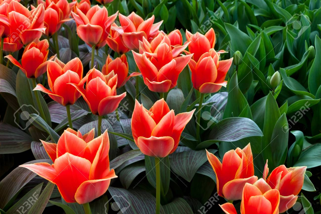 Group of red tulips in the park  Spring landscape Stock Photo - 18658488