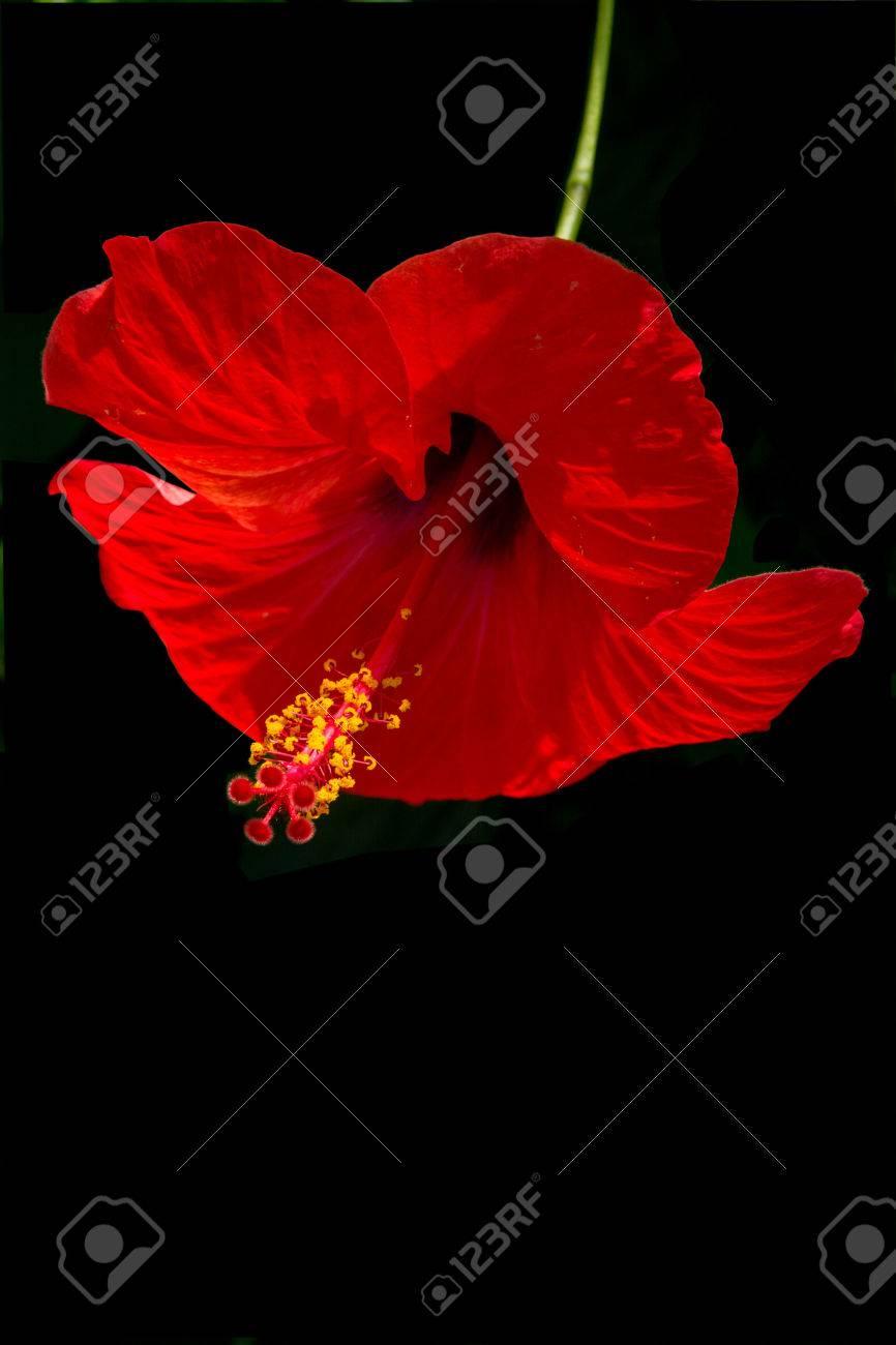 Fleur D Hibiscus Rouges Avec Tige Verte Et Jaune Des Petales Isoles