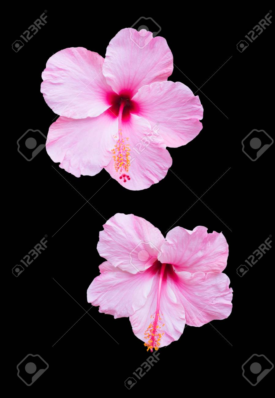 Two Pink Hibiscus Flowers Isolated On Black Stock Photo Picture And