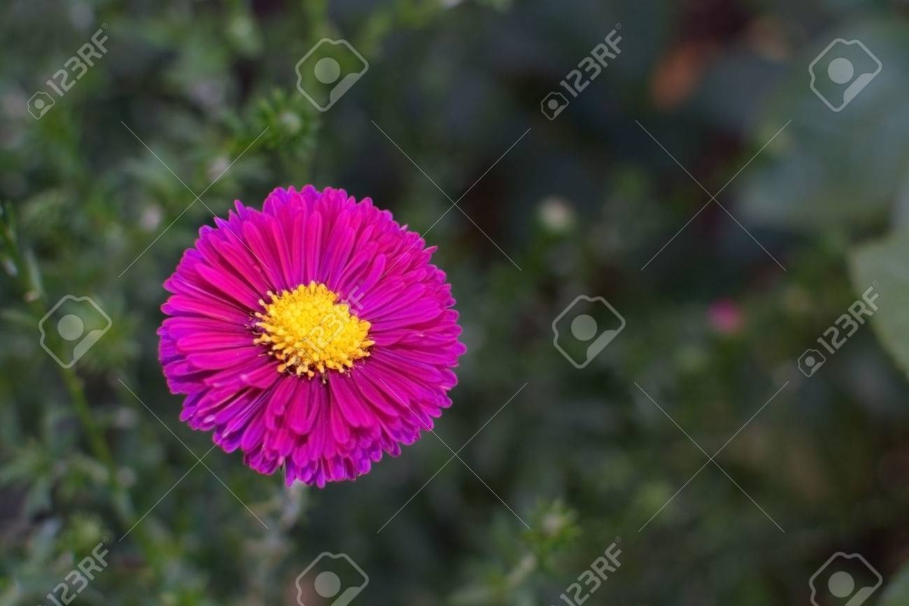 Pink aster flower single hot pink aster daisy like flower with pink aster flower single hot pink aster daisy like flower with yellow center and green izmirmasajfo