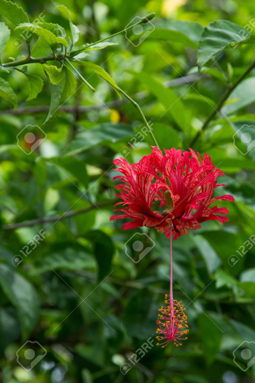 Red Tropical Flower Red Hibiscus Type Flower Hibiscus Sinensis