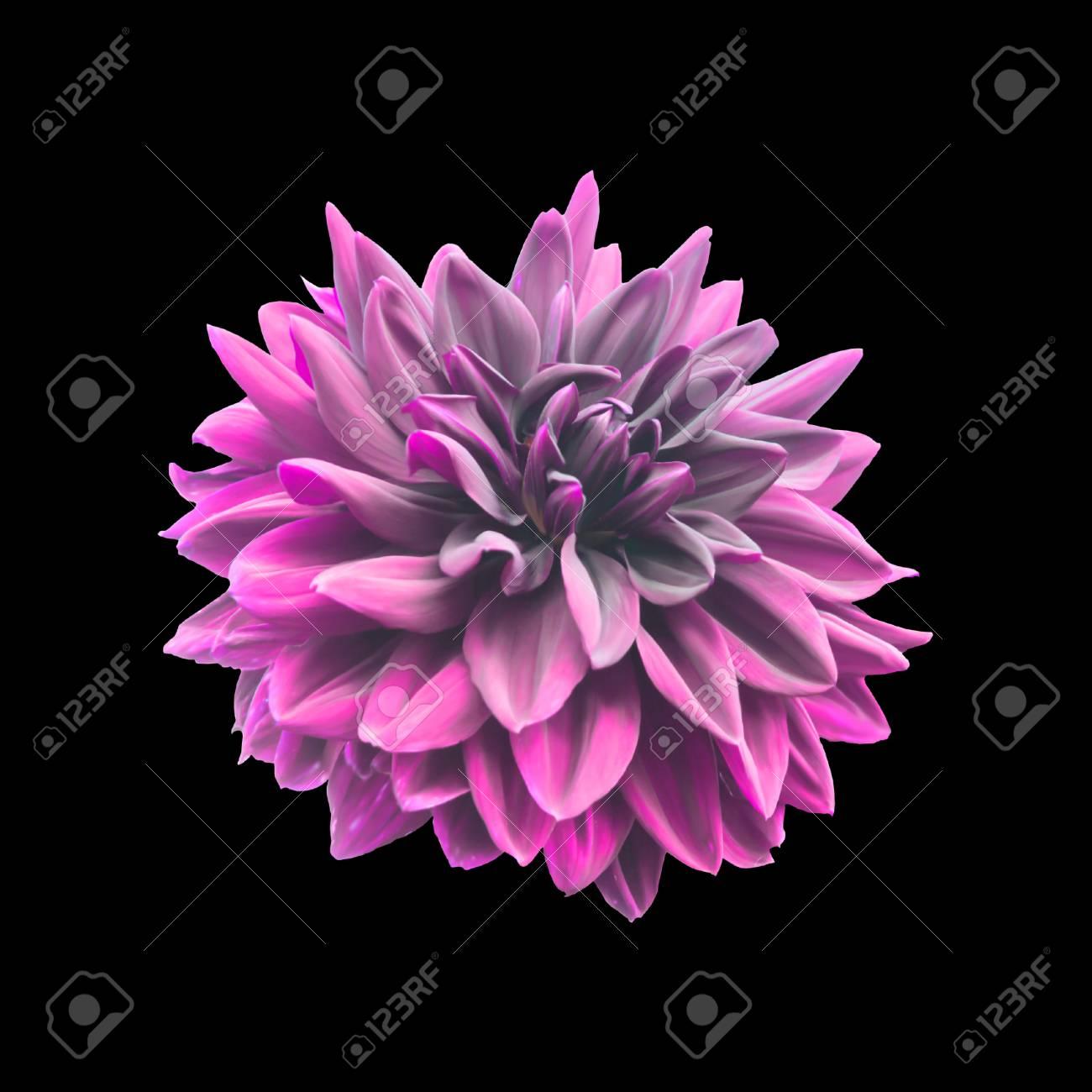 Pink dahlia flower isolated on black stock photo picture and pink dahlia flower isolated on black stock photo 35860577 izmirmasajfo