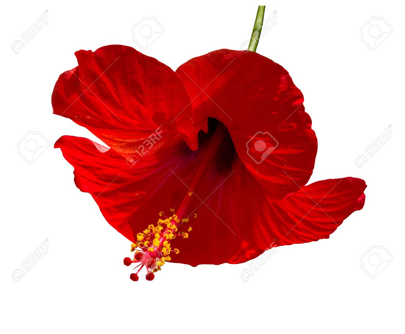 Red hibiscus flower with green stem and yellow petals isolated red hibiscus flower with green stem and yellow petals isolated on white stock photo izmirmasajfo Choice Image